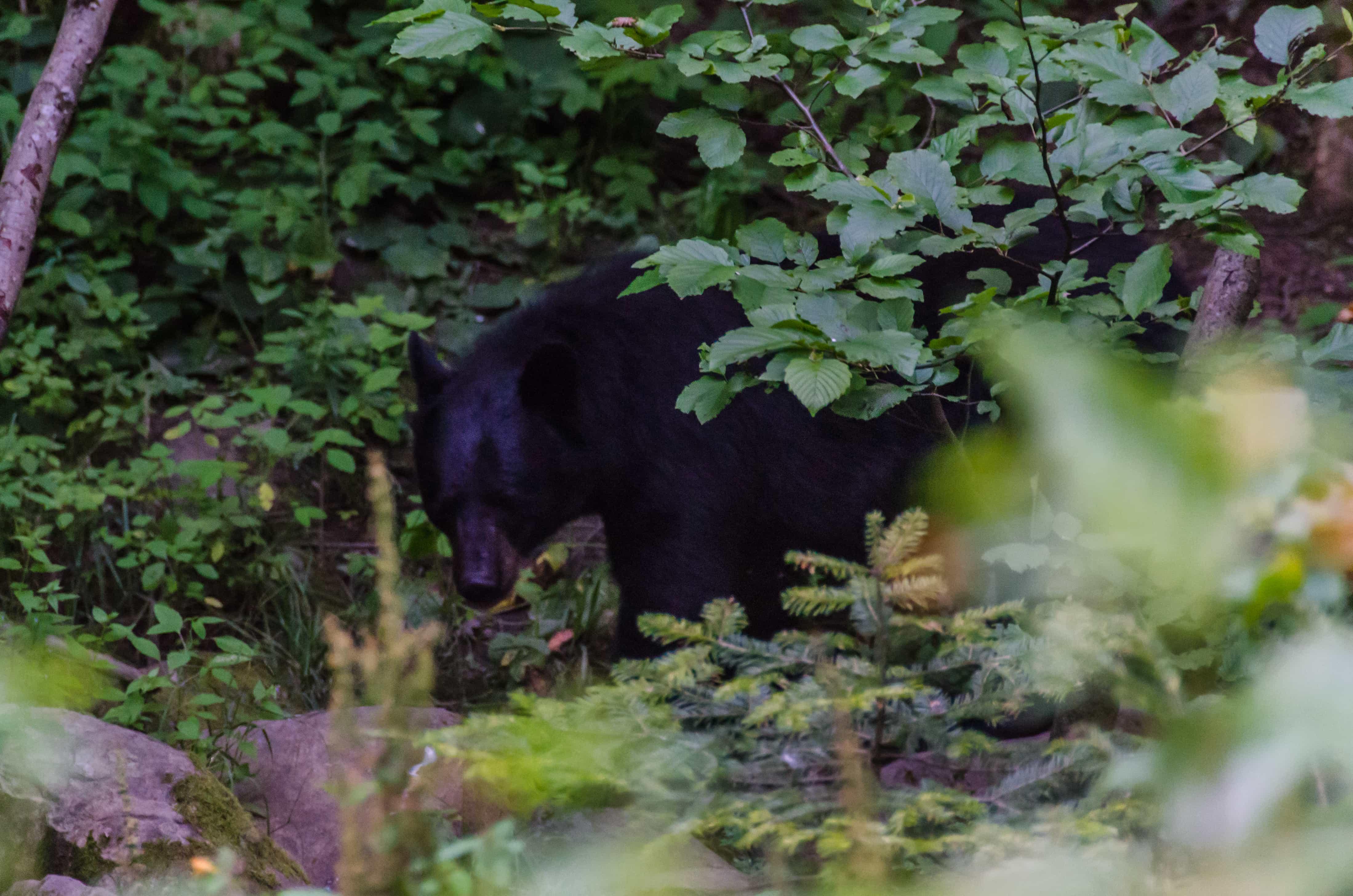 Ours noir canada
