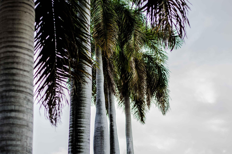 Palmiers cuba