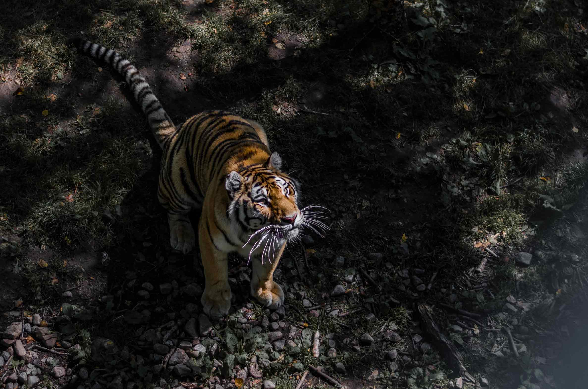 Tigres zoo