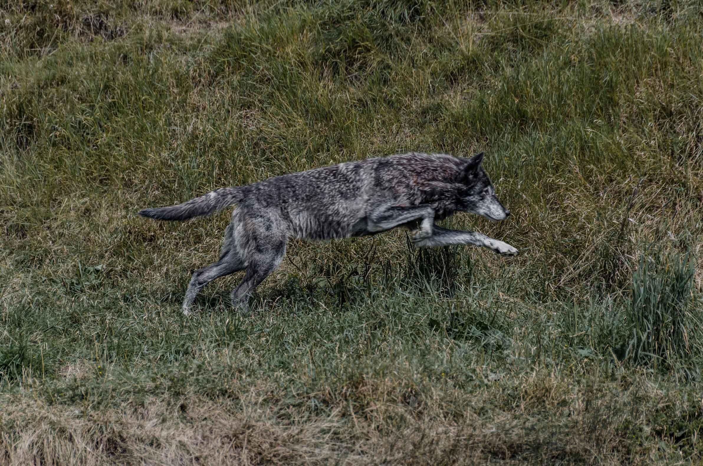 Loup Zoo sauvage de St-Félicien