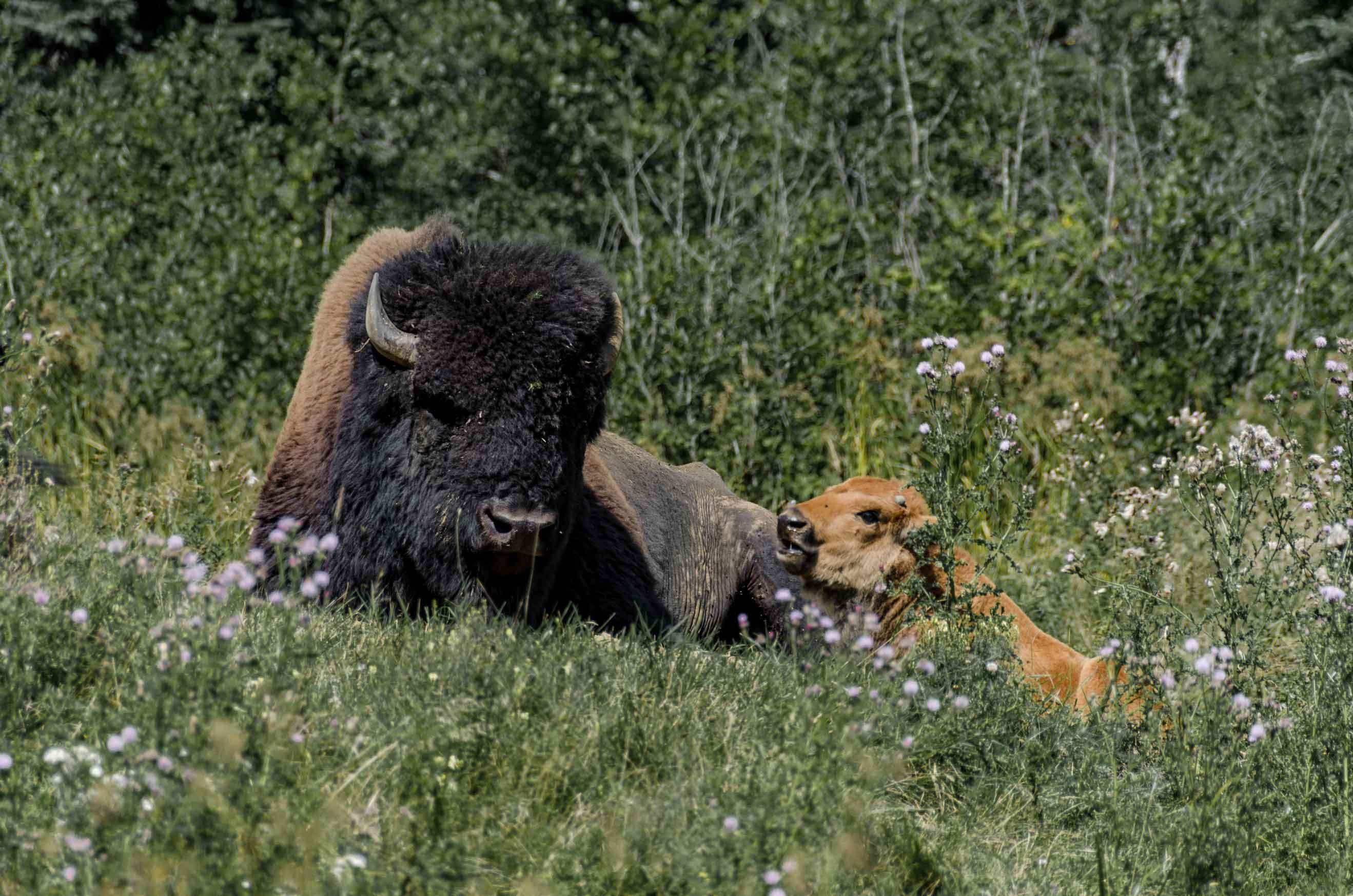 Bison d'Amérique zoo