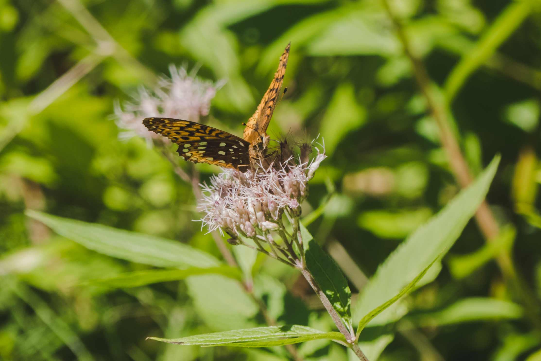 papillon nature