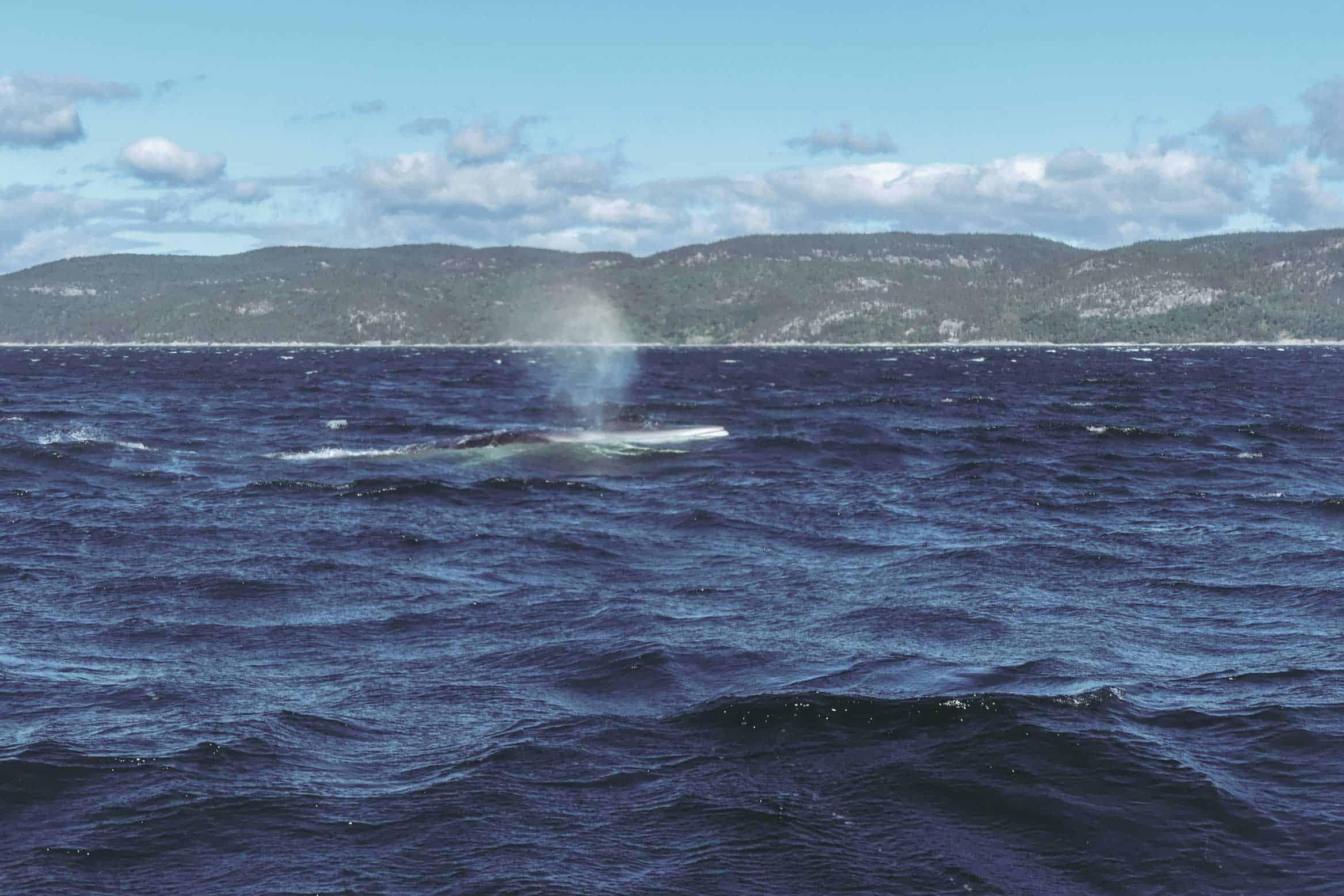 tadoussac baleine