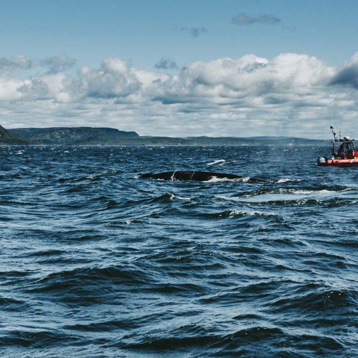 Québec - Les baleines du Fleuve Saint-Laurent